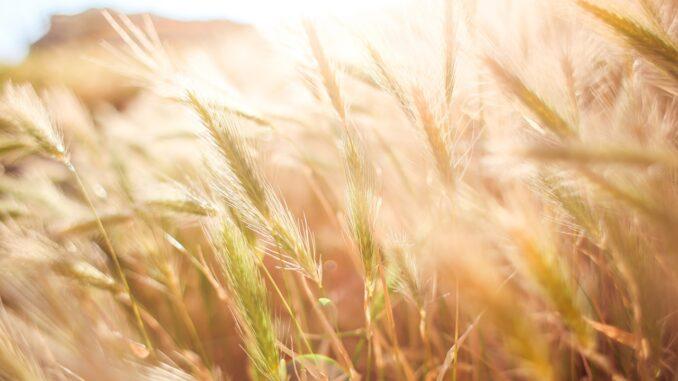 crisi del grano